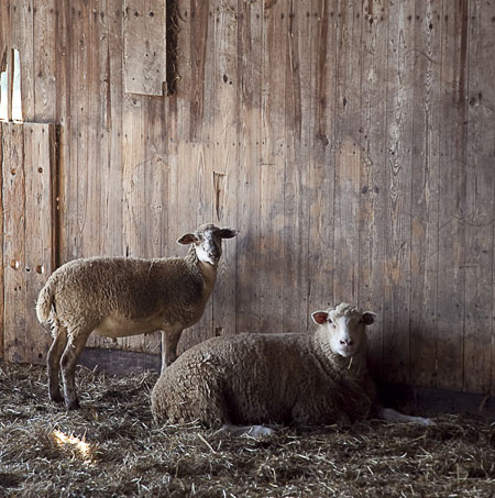 sheep in the barn at tullamore farms in stockton new jersey